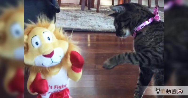 猫とライオンがボクシング!? 勝負は……つきそうもありません( ´艸`)