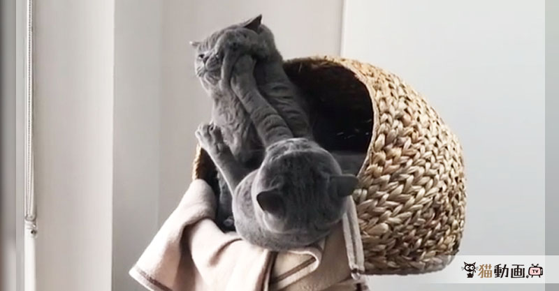 """互いに譲らない猫たち……""""むにゅっ""""とされている顔がたまらないです(*≧∀≦*)"""