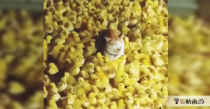 大量のひよこに囲まれる猫さん。一種の現代アートのように見えますね