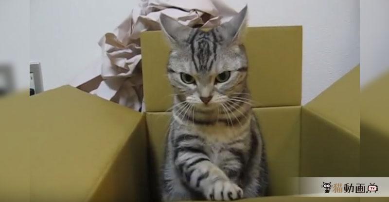 ダンボール職人の朝は早い……ダンボールの安全を確認する猫( ´艸`)