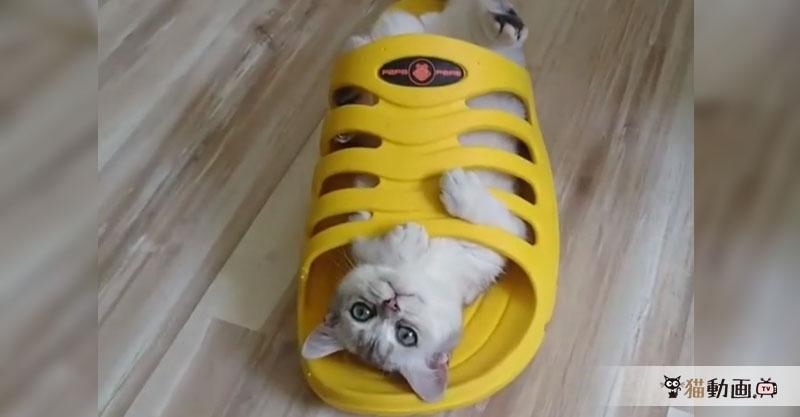 サンダルに履かれた猫ちゃん(*´∀`*) これはどっちが大きくて小さい?