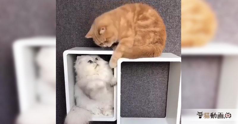 ちょっとツンな茶トラさんと大好きオーラの白猫さんとの仲良し動画です