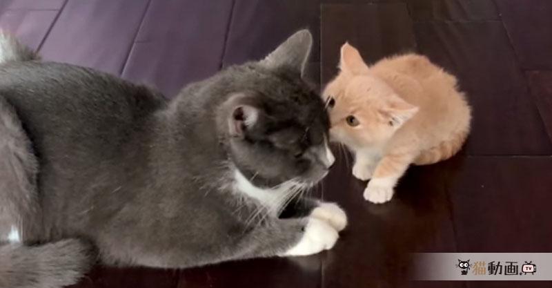 大人の猫さんに初めて出会った子猫ちゃんのキスが可愛い💕