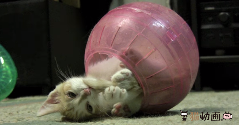 ボールの中が落ち着くにゃん(*´ω`*) コロコロを満喫する猫ちゃん♪