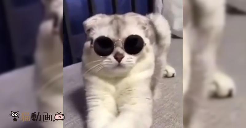 自分でお気に入りのサングラスをかける猫ちゃん
