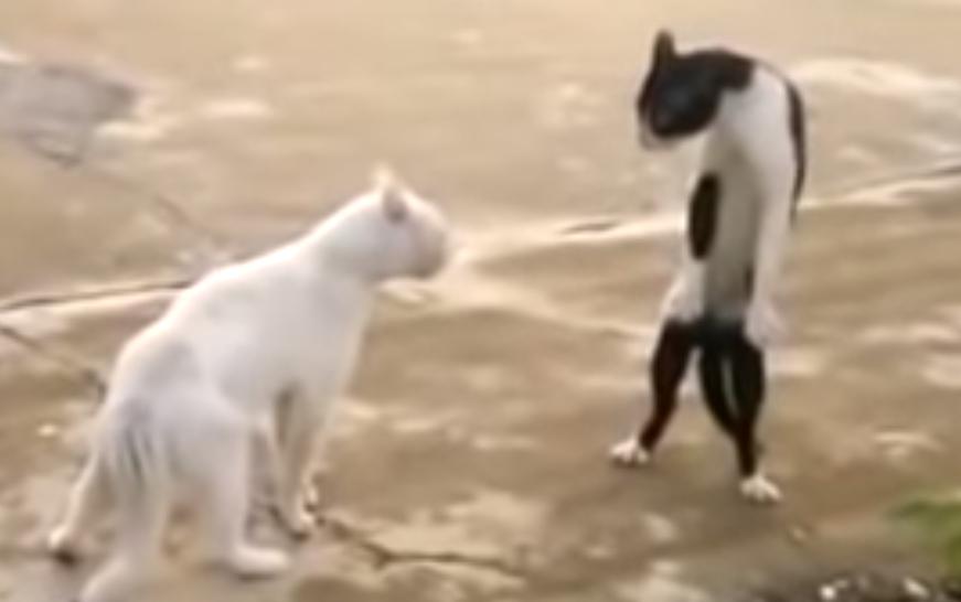 猫同士の喧嘩中に立って威嚇する猫🐱「僕の方が強いニャーッ‼」