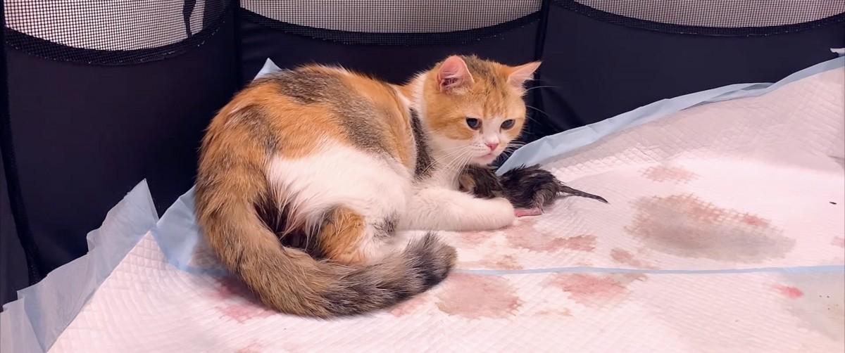 【衝撃映像】ネコちゃんが産まれるその瞬間!!