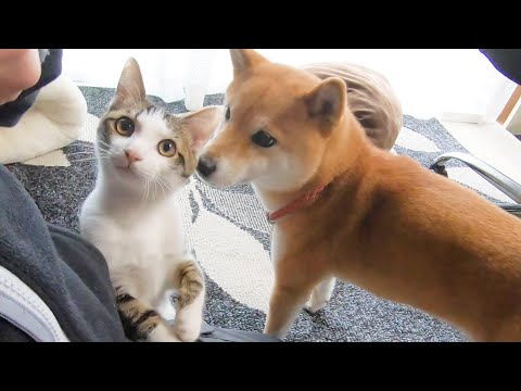 柴犬のヤトちゃんは、猫のトワ君に甘える権利を譲ります😹