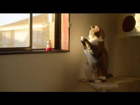 これが本当の招き猫! 招き猫の真似をする猫ちゃんに癒されます(*´ェ`*)